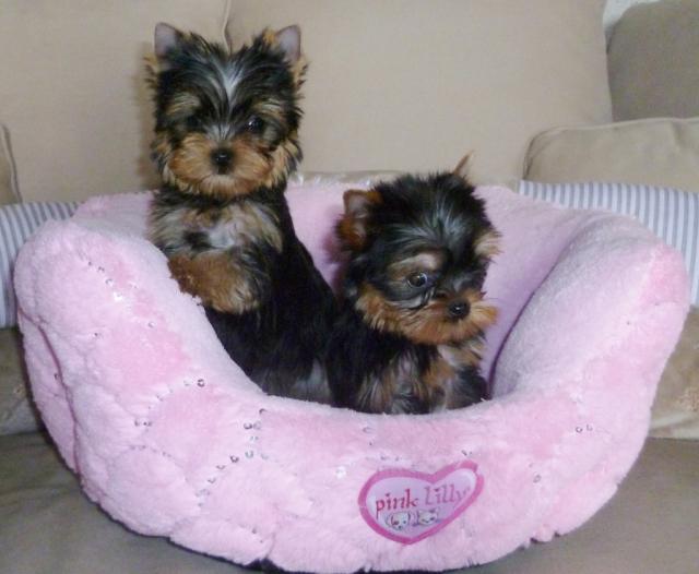 le yorkshire toy le chien joueur jardin deco. Black Bedroom Furniture Sets. Home Design Ideas