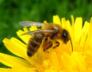 612px-Honey_bee_on_a_dandelion,_Sandy,_Bedfordshire_(7002893894)