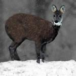 Siberian_Musk_Deer