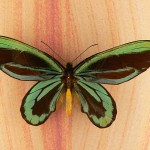 ornithoptera_alexandrae_1