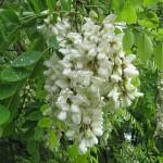 Fleurs d'acacia qui serviront aux abeilles à faire le bon miel Famille Mary