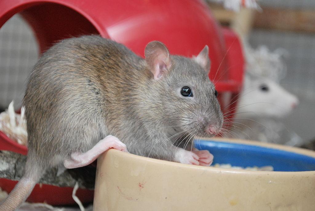 Le rat, un NAC très intelligent