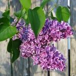lilacs-13391_960_720
