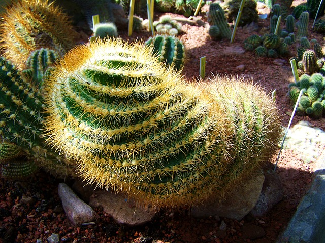 mexican-cactus-818554_640