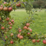 Les arbres fruitiers nains